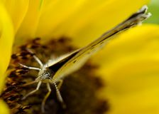 Голубянки Стоковое Фото