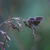 голубянки lat Мед-бабочки стоковые фото