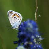 голубянки lat Мед-бабочки стоковые фотографии rf