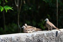 3 голубя зебры отдыхая на стене Стоковое Изображение