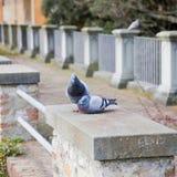 2 голубя итальянского вида Стоковые Фотографии RF