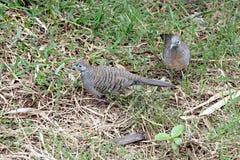 2 голубя ища еда. Стоковые Фото