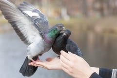 2 голубя на ладони Стоковое фото RF