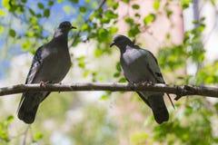 2 голубя на ветви дерева Стоковые Фотографии RF