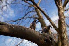 2 голубя на ветви Стоковые Фотографии RF