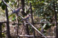3 голубя на ветви Стоковое Изображение