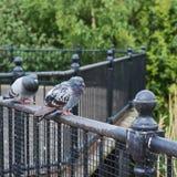2 голубя на загородке Стоковое Фото