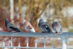 4 голубя на загородке Стоковые Фотографии RF