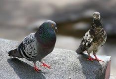 2 голубя на крыше Стоковая Фотография RF