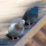 2 голубя на крыше Стоковое Изображение