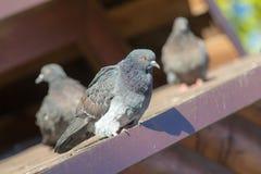 3 голубя на крыше Стоковое Фото
