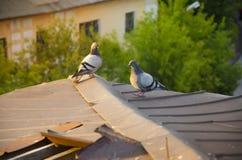 2 голубя на крыше Стоковые Фотографии RF