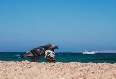 2 голубя на песочном morskoym берега показывают влюбленность для одина другого Co Стоковые Изображения RF