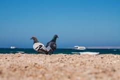 2 голубя на песочном morskoym берега показывают влюбленность для одина другого Co Стоковое Изображение RF