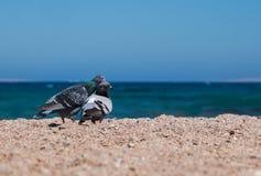 2 голубя на песочном morskoym берега показывают влюбленность для одина другого Co Стоковое Фото