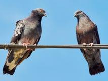 2 голубя на проводах Стоковое Изображение