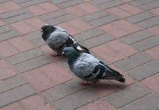 2 голубя на серых и розовых булыжниках Стоковые Изображения RF
