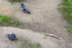 2 голубя на том основании Стоковые Фотографии RF