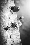 2 голубя на уступе Стоковое Фото