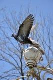 2 голубя на фонарике Стоковые Изображения RF