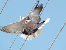 2 голубя на электрическом кабеле Стоковые Фото