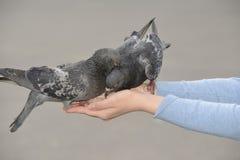 2 голубя подавая и балансируя на руке женщины Стоковые Фото