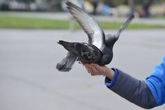 2 голубя подавая и балансируя на руке женщины Стоковая Фотография RF