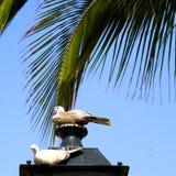 2 голубя под ладонью Стоковое Изображение RF