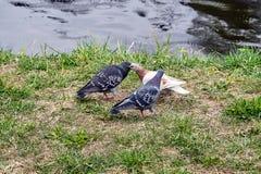3 голубя рекой Стоковое Изображение RF