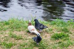 3 голубя рекой Стоковые Изображения RF