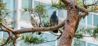 2 голубя садились на насест на ветви в дереве Стоковое Изображение