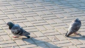 2 голубя сердитого на одине другого Стоковое фото RF