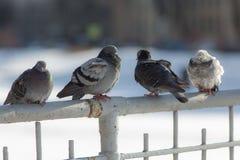 4 голубя сидят на загородке Стоковые Изображения