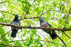 2 голубя сидя на ветвях древесной зелени Стоковая Фотография RF