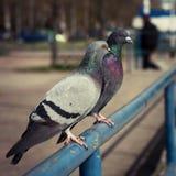 2 голубя сидя на голубой железной загородке Стоковое Фото