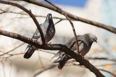 2 голубя сидя на дереве Стоковая Фотография