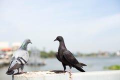 2 голубя сидя на мосте Стоковое Изображение RF