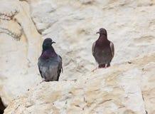 2 голубя сидя на утесе и смотря один другого Стоковое Изображение