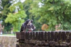 2 голубя сидя рядом друг с другом на кирпичной стене в ` s милана Стоковые Фото