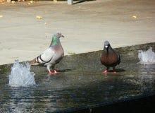 2 голубя стоя на фонтане Стоковое Фото