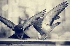 2 голубя утеса города Стоковая Фотография RF