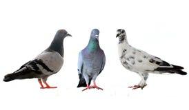 3 голубя Стоковые Фотографии RF