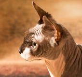 1 год sphynx кота старый Стоковая Фотография