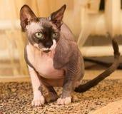 1 год sphynx кота старый Стоковые Фотографии RF