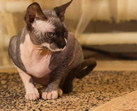 1 год sphynx кота старый Стоковые Изображения
