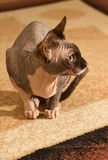 1 год sphynx кота старый Стоковое Изображение