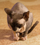 1 год sphynx кота старый Стоковое Фото