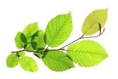 Граб (Carpinus Betulus) Стоковая Фотография RF