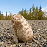 гравий растет поверхность гриба гривы shaggy Стоковая Фотография