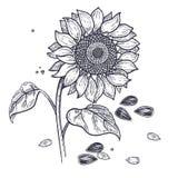 Гравировка солнцецвета и семян винтажная иллюстрация вектора
